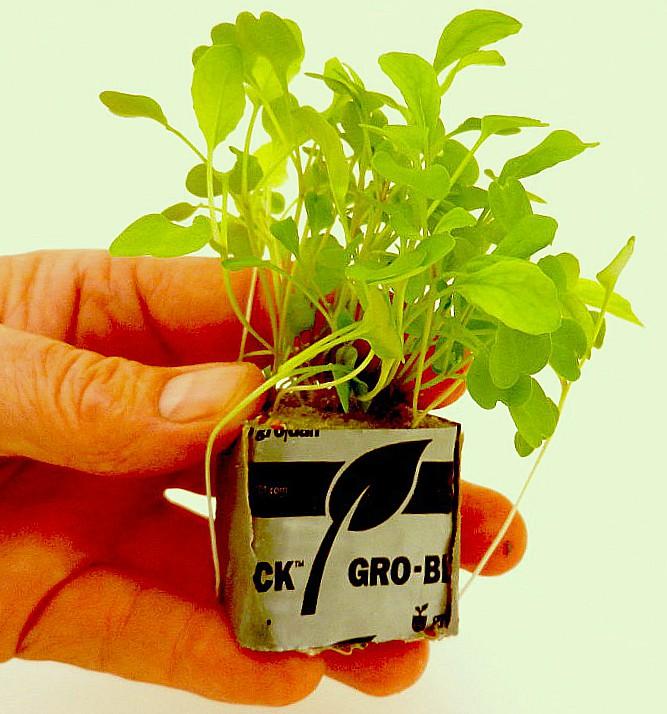 lettuce09.jpg